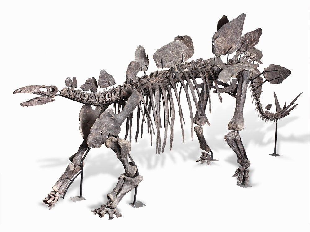 Stegosaurus sp. Source: Eastern Bighorn Mountains, Wyoming, USA Late Jurassic, c. 150 million years 155 x 270 x 570 cm Weight: 850 kg Price est.: € 2,400,000