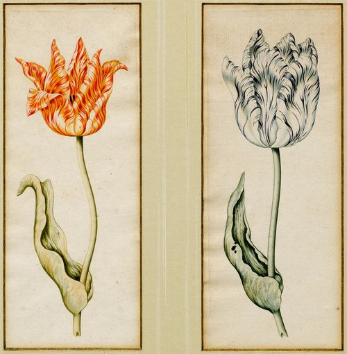 Anthony Claesz (1607 Amsterdam 1649), Attribution. Two tulips: 1. Red Yellow tulip 2. Blue White tulip. Watercolors. On laid paper unwatermarked. 24.5 x 10.6 cm and 24.7 x 10.2 cm. Price est.: € 4,630-7,410. Photo by Koller